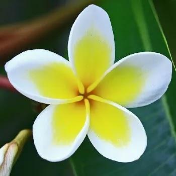 चाफा, Frangipani Flowers Name In Marathi
