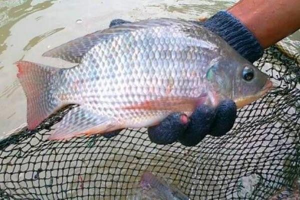 Cara Memelihara Ikan Nila dan Langkah-langkah Budi Daya Ikan Nila