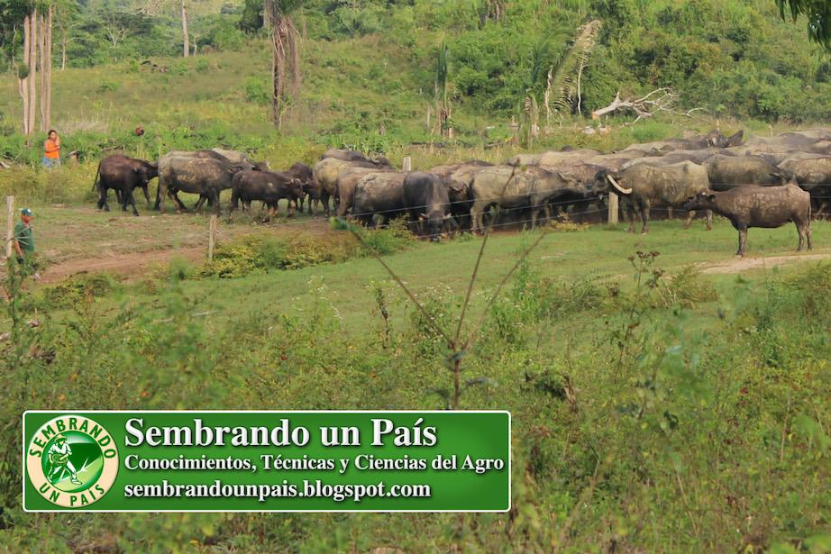 ganado bufalino pastando