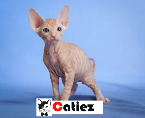 Donskoy Cat - all you want to know about Donskoy Cats