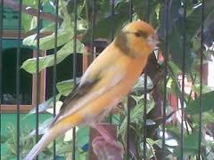 Perawatan Burung Kenari Yang Mabung - Solusi Perawatan Mabungnya Burung Kenari