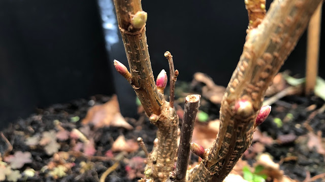 New pink buds emerging on blackcurrant shrub