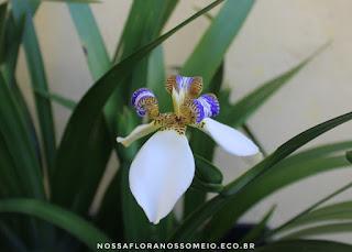 flor-da-neomarica-northiana