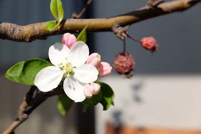 Blossom on the apple tree on our verandah.