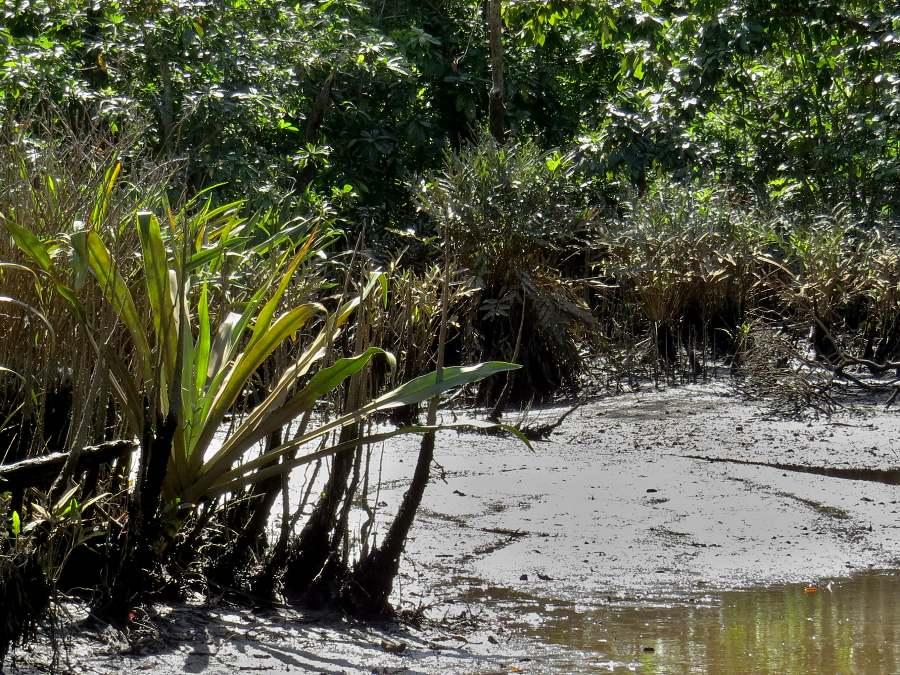 freshwater mangroves