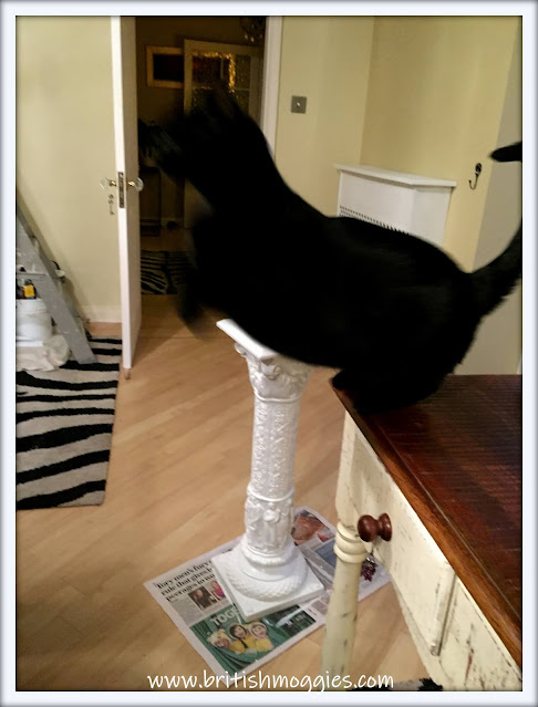 Friday Fluffers at BBHQ ©BionicBasil® www.britishmoggies  Parsley and The leap of Faith