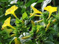 żółte kwiaty dziwaczka