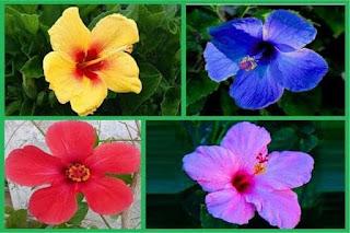 Colors of Hibiscus Roses - AWRAQ