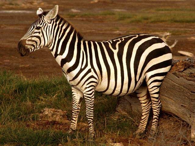 zebra in Poland