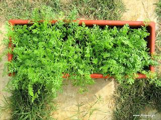 Αχίλλεια σπορά φύτεμα καλλιέργεια