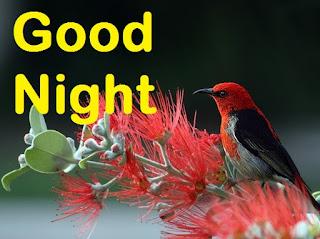 good night red bird