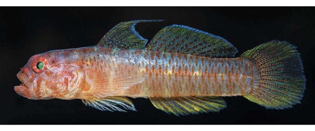 Ikan Sponge-Dwelling Goby