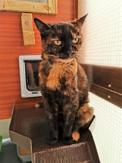 Tortoiseshell cat sitting on a shelf in a cat pen
