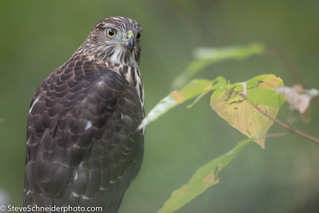 A close up of a hawk sitting in a tree with his head turned to stare directly at the camera