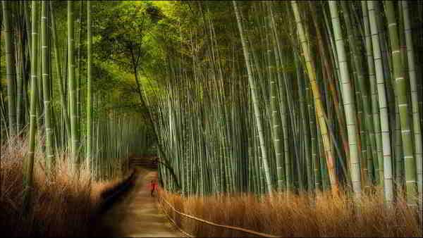 cosecha bambu