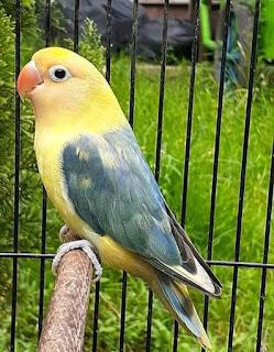 CIRI-CIRI LOVEBIRD BETINA
