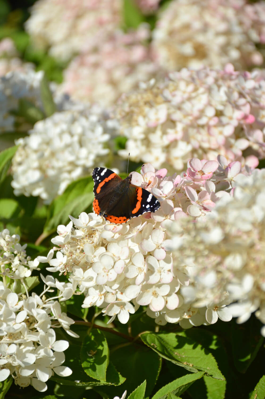 syyshortensia-perhonen