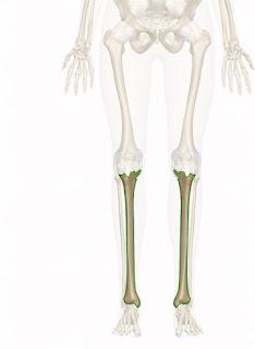 Tulang tibia