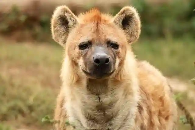 100 Shocking Facts About Hyena In Hindi