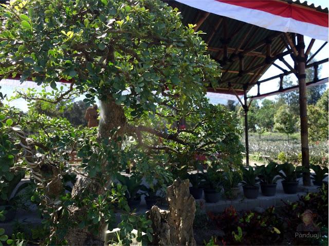 Pohon bonsai di Kampung Anggrek