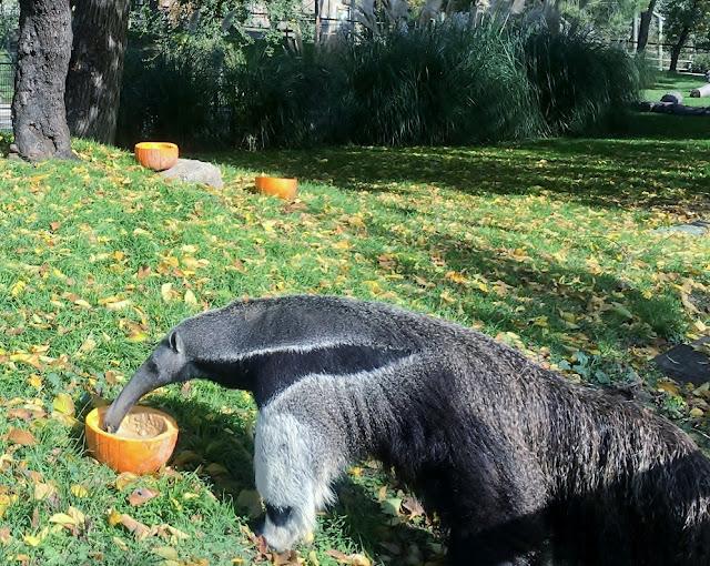 Halloween oso hormiguero