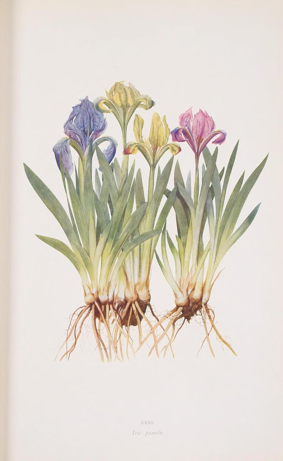 flores de lirios pumila de varios colores