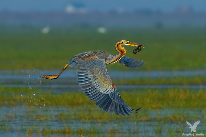Purple Heron with catch at Mangalajodi Odisha