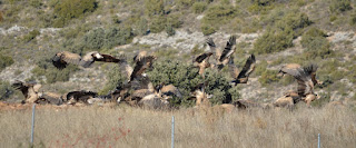 birdwatching guara pyrenees.birding aragon.