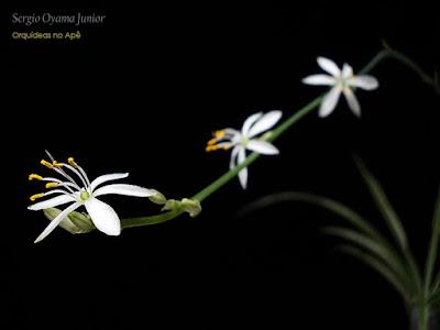 Floração da Planta Aranha - Chlorophytum comosum