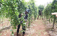 pasiion fruit farming in Kenya