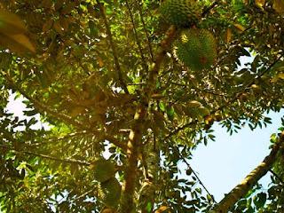 pohon-durian-cepat-berbuah.jpg
