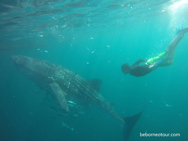 Hiu Paus atau Whale Shark di Derawan