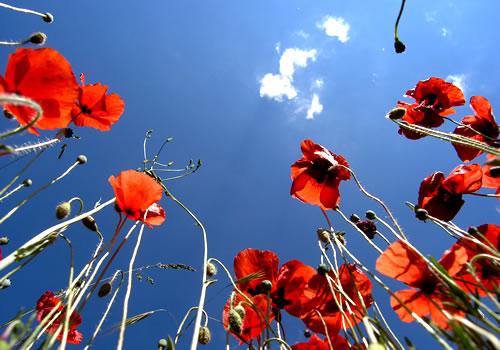 il papavero fiore