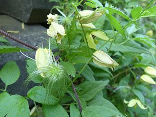 Renoncule à feuilles crénelées - Clematis serratifolia