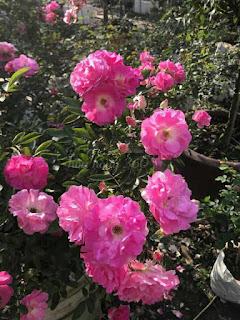 hoa hồng tầm xuân là gì