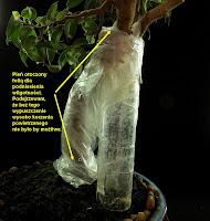 fikus bonsai