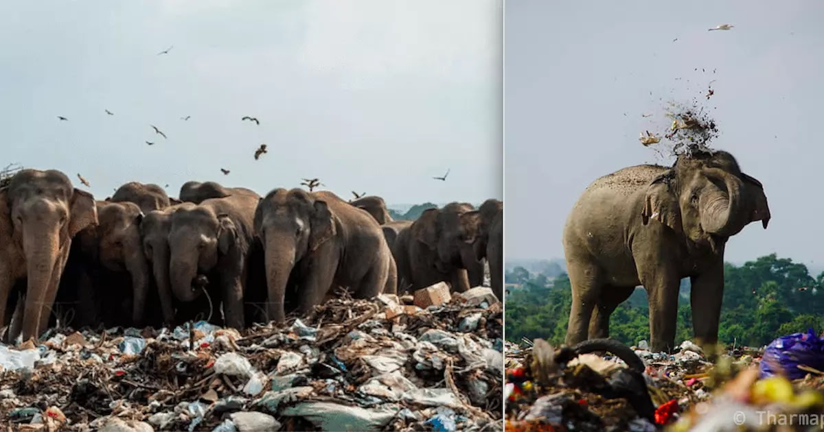 Heart-Breaking Photographs Show Hungry Elephants In Sri Lanka Eating From Garbage Dump