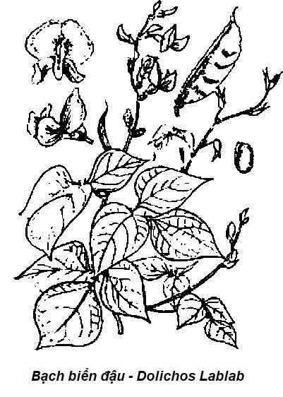Hình vẽ Bạch biển đậu - Dolichos Lablab - Nguyên liệu làm thuốc Chữa Bệnh Tiêu Hóa