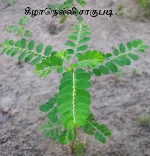 Phyllanthus amarus plant