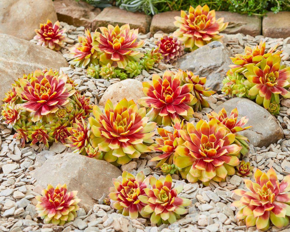 Suculenta siempreviva Sempervivum follaje amarillo dorado y rojo en rocalla