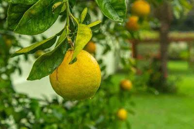 فوائد اوراق البرتقال