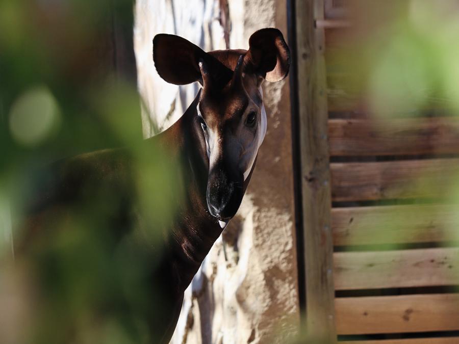 San Antonio Zoo Okapi