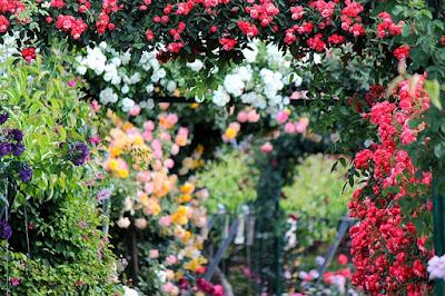 Kombinacija ruza u vrtu