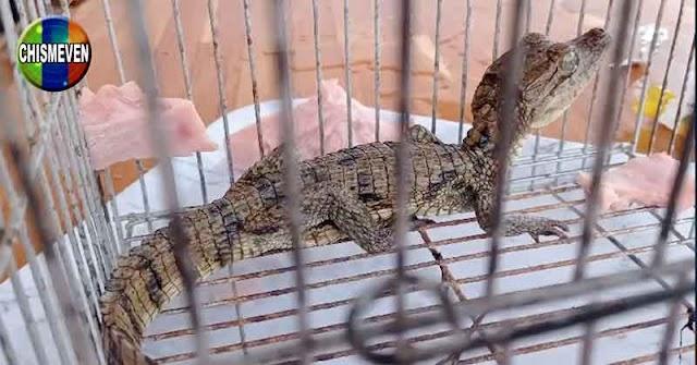 Policías encontraron un caimán bebé en la guarida de El Koki