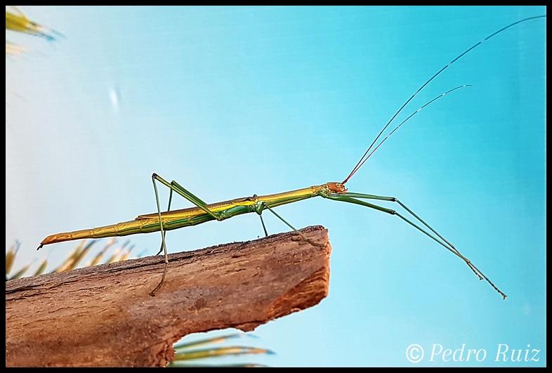 "Hembra adulta de Lamachodes sp. ""Bokor"", 9 cm de longitud"