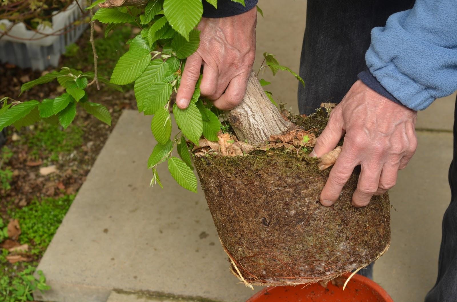 THE SECRETS TO GROWING BONSAI The Garden Of Eaden