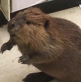 berang berang beaver
