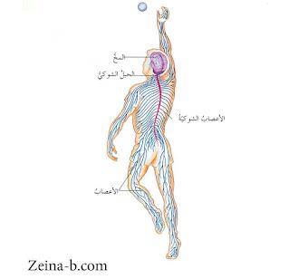 تشريح الجهاز العصبي فى الانسان