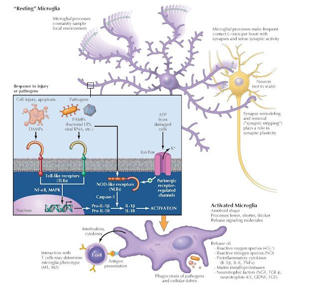 MICROGLIAL BIOLOGY