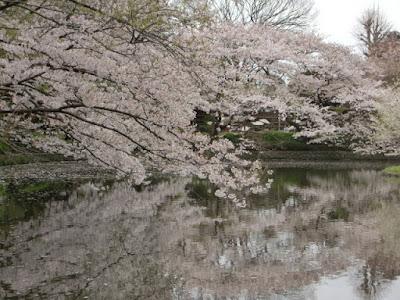 源氏池の桜